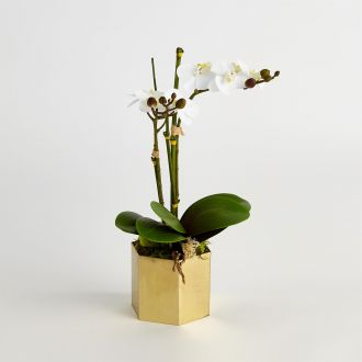 Double Mini Phalaenopsis Orchids-White