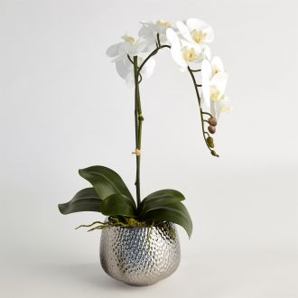 Single Phalaenopsis Orchid-White